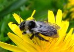 800px-Andrena_cineraria